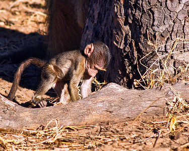 Baby Chacma Baboon digging for grubs.Chobe National Park, Botswana