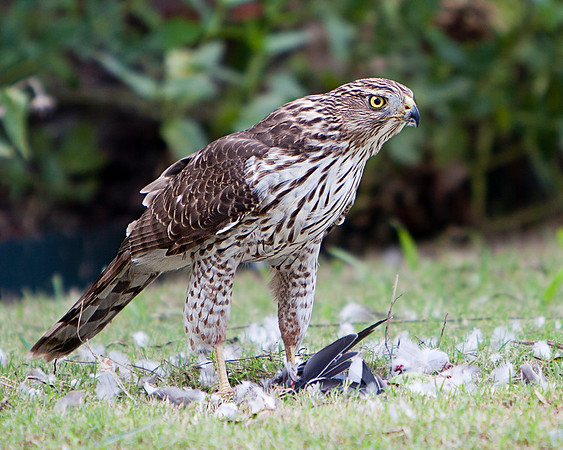 Immature Cooper's Hawk guarding the remains of his prey.Allen,TX