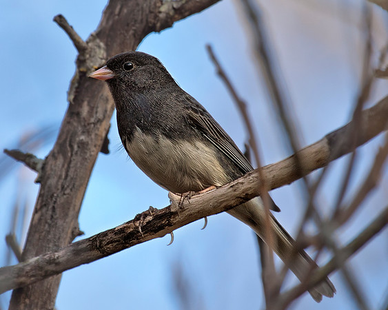 Dark Eyed Junco McKinney, Texas