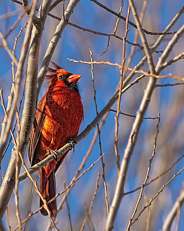 Male Cardinal Perched in Globe Willow TreeAllen,TX